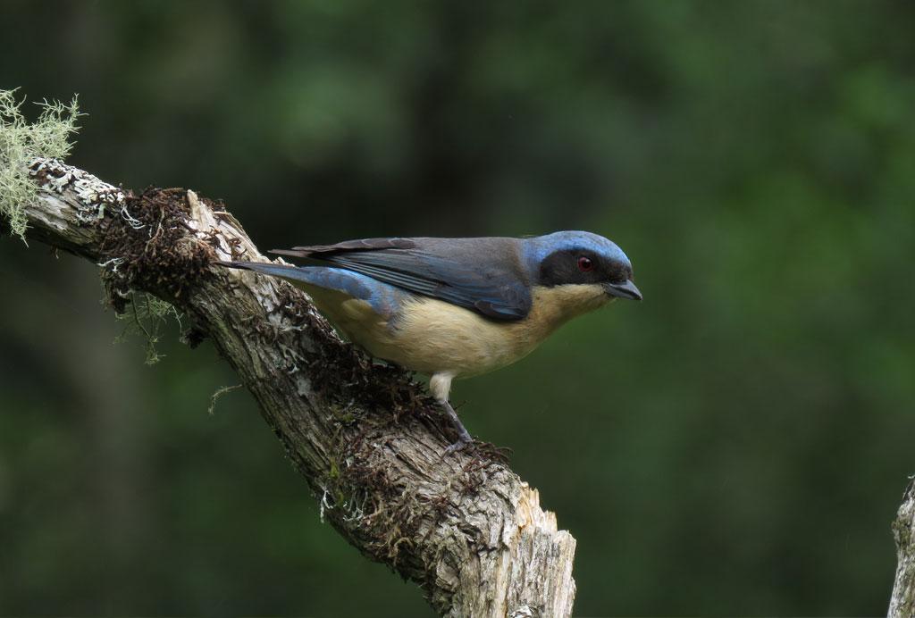 (Pipraeidea melanonota) - Foto: Teo Camacho