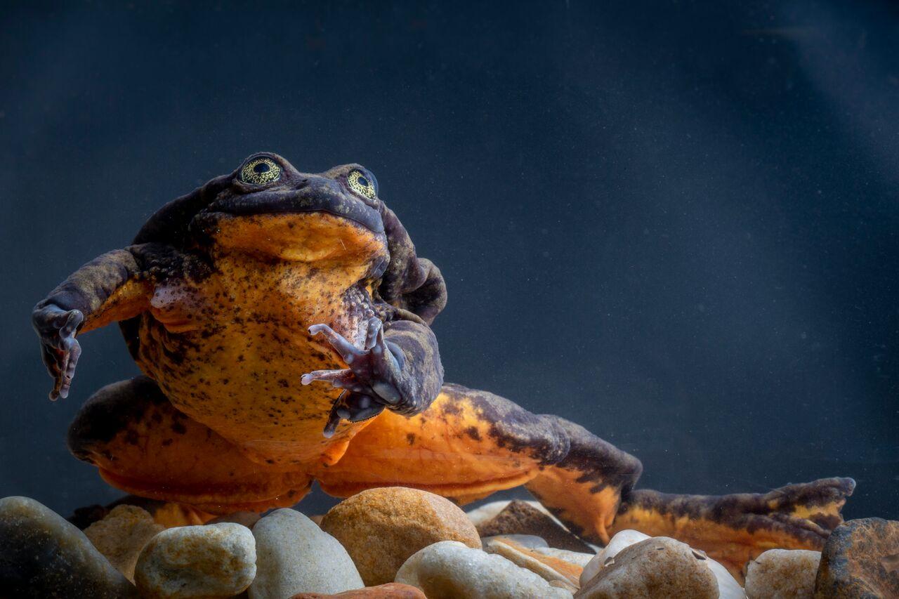 (Telmatobius yuracare) - Foto: Robin Moore - Global Wildlife Conservation