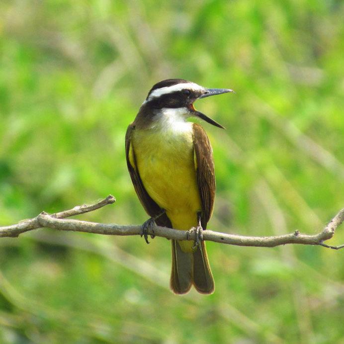 (Ptanus sulphuratus) - Foto: Teo Camacho